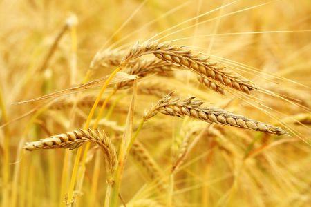 Wheat close up photo