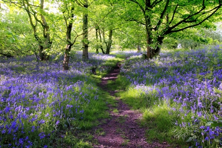 Bosque de campanas azul en Escocia