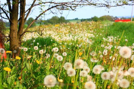 Beautiful meadow of dandelions, Poland