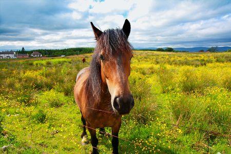 Beautiful horse in Scottish Summer Fields Stock Photo - 7332544