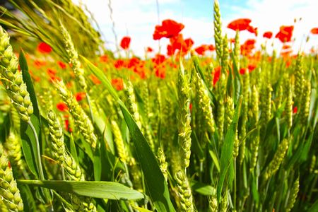 Young wheat with poppies growing in the fields photo