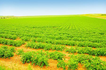 Field of growing potatoes in Scotland photo