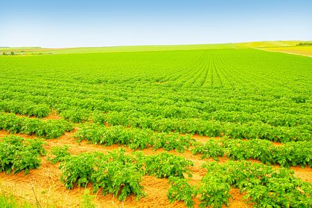 Field of growing potatoes in Scotland