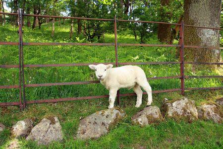 lost lake: Lost lamb, Lake District