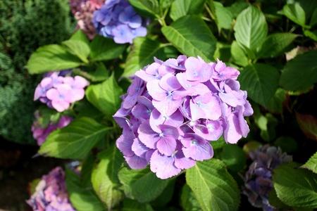 Hydrangea, hortensia photo