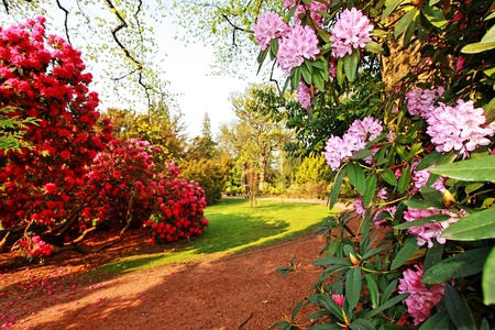 Beautiful, old park with azalea trees in Spring, Scotland Standard-Bild