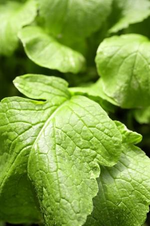 raddish: Close up of vegetable leaves,  raddish  Stock Photo