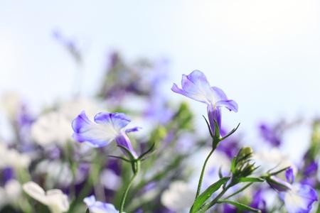 lobelia: Blue lobelia close up