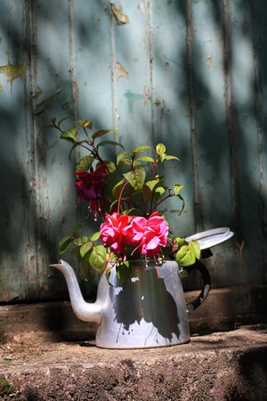 Beautiful, pink fuchsia in an old teapot in the old garden photo