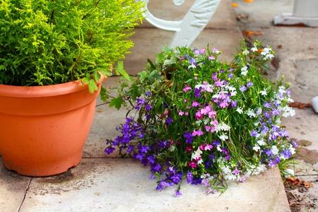 lobelia: Lobelia flowers in the garden
