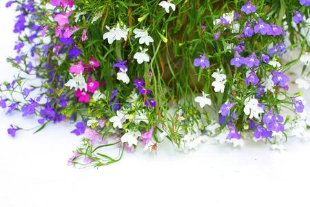 lobelia: Lobelia flowers on white background Stock Photo