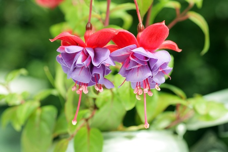 flores fucsia: Hermosas flores color fucsia de cerca