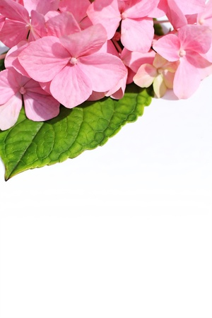 White background with pink hortensia closeup Reklamní fotografie