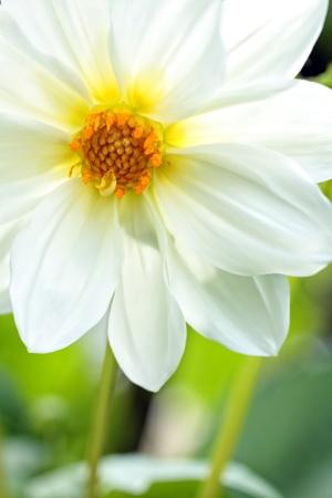 Pretty white dahlia close up