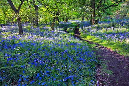 Beautiful bluebells in the forest  photo
