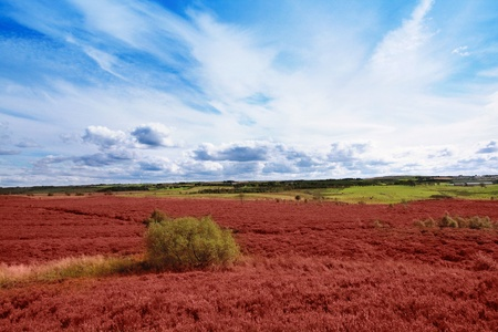 Scottish fields of heather on a sunny day photo