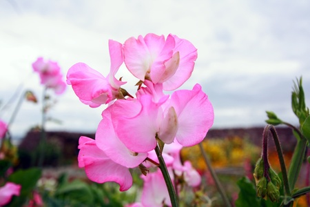 sweet pea flower: Pink sweet peas close up
