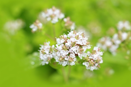 Marjoram flowers close up photo