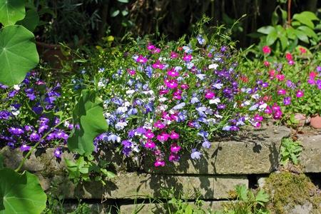 lobelia: Lobelia flowers growing in the garden