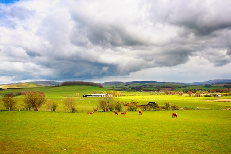 Beautiful rural landscape with grazing cows, hills and trees  photo