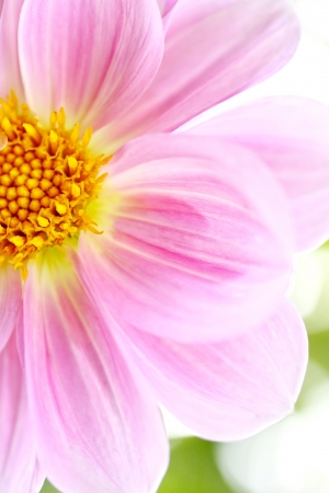Dalia, Dahlia close up photo
