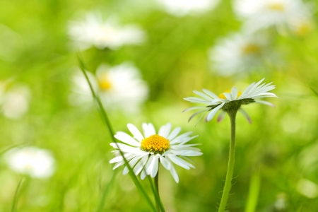 Beautiful, soft daisies close up
