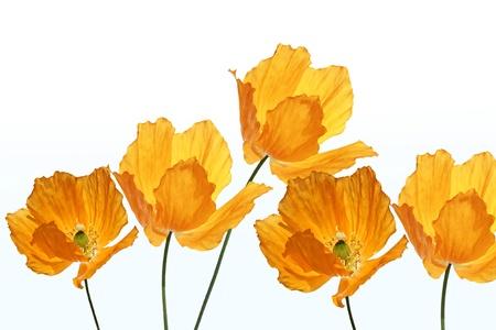 Bright, orange poppies on white background, summer decoration photo