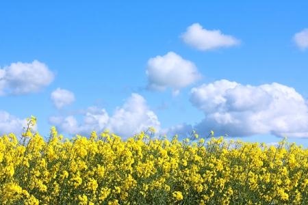 horison: Beautiful fields of rape in Springtime, close up Stock Photo