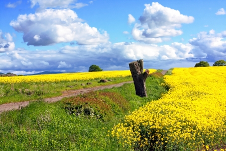 Beautiful fields of rape and a rural road in Springtime photo