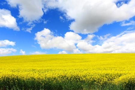 Beautiful fields of rape in Springtime photo