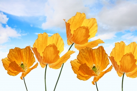 Bright, orange poppies on the sky background, summer  photo