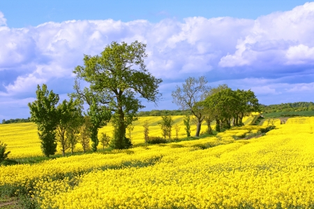 horison: Beautiful fields of rape  and trees in Springtime