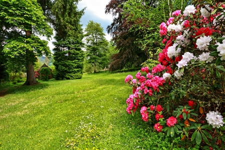 Beautiful, English garden with blooming rhododendrons in springtime