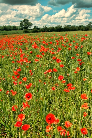Fields or wild red poppies, vintage  photo