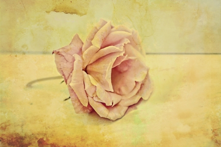 Pink rose vintage background photo