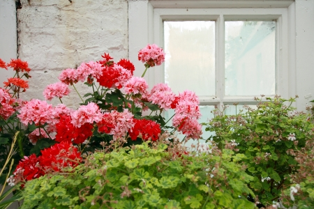 Pink and red geranium against old conservatory window photo