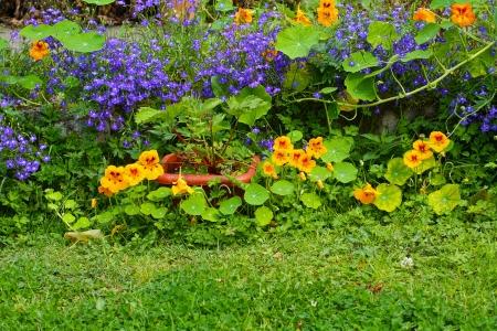 lobelia: Summer in the garden , lobelia and nasturtium