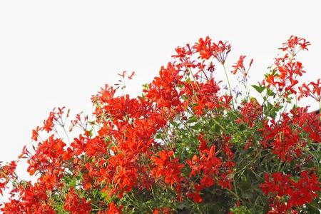 geranium color: Red geranium on white background  Stock Photo