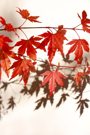 japanes: Beautiful red japanes maple against white background