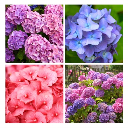 A collection of Hydrangea flowers close up