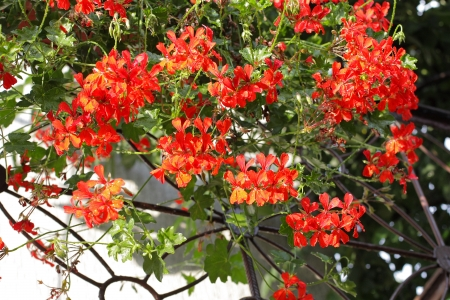Red pelargonia flowers, balcony decoration Stock Photo - 16529621