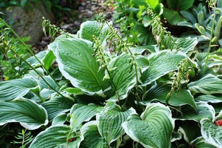 ccloseup: Green hosta in the garden close up Stock Photo