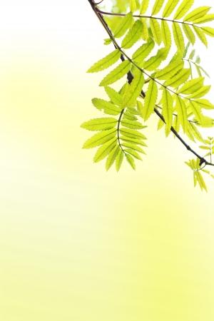 ash tree: Primavera sfondo con ramo di un albero di cenere