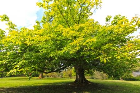 chestnut tree: Springtime, green chestnut tree in the old garden  Stock Photo