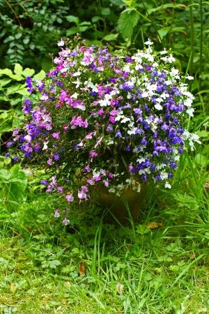 lobelia: Beautiful three color garden lobelia
