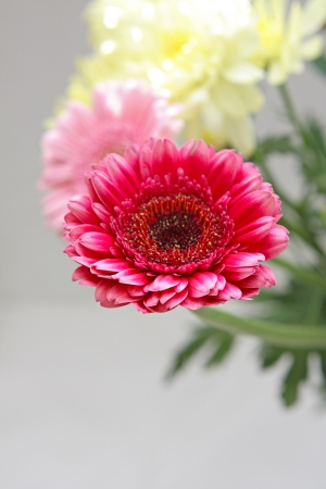 Beautiful, artistic gerbera flower close up photo