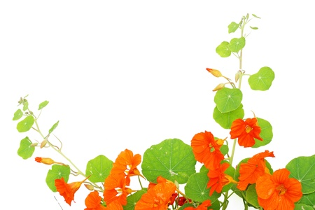 Blooming nasturtium in the garden, close up on white