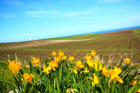 Beautiful Spring and daffodils in the fields of Ireland photo