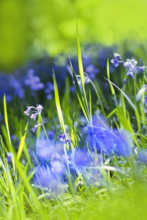 Beautiful bluebells in the British forest close up  photo