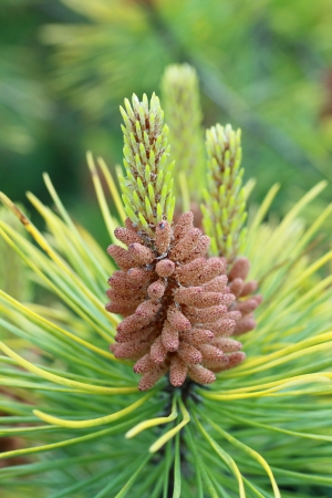 Young growing pinecone in springtime close up photo
